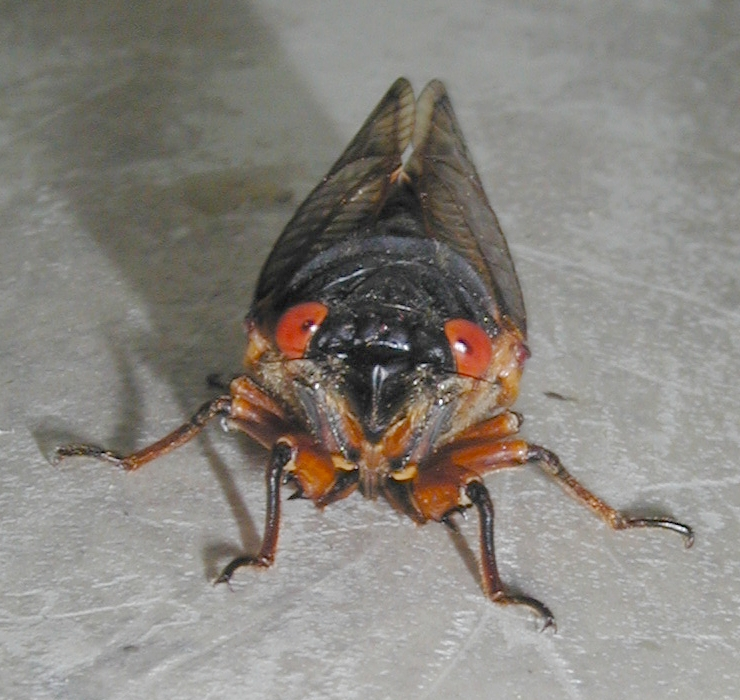Hi there, a cicada#