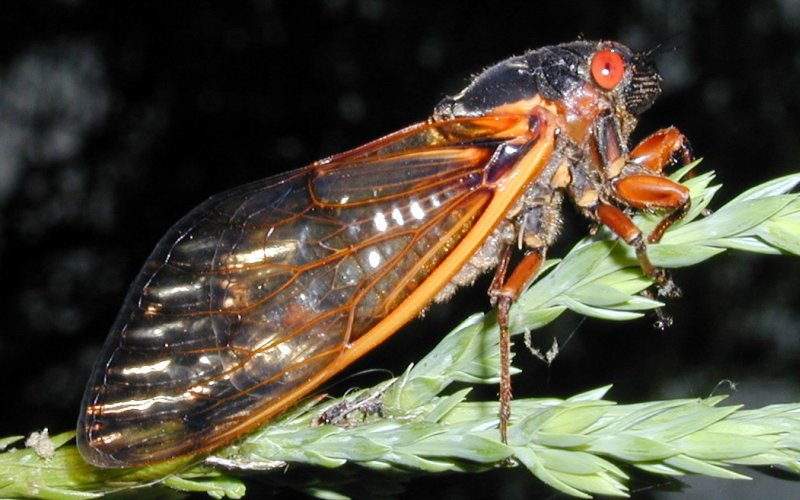 Side  view of Cicada